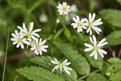 Chickweed flowers close up Stock Image