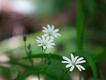 Chickweed flowers Stock Images