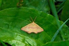Chickweed Geometer Moth - Haematopis grataria. Chickweed Geometer Moth resting on a leaf. Ashbridges Bay Park, Toronto, Ontario, Canada royalty free stock photos