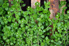 Chickweed Royalty Free Stock Photos