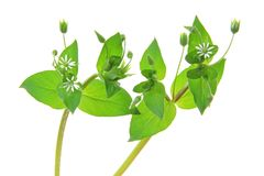 Chickweed (Stellaria media). Flowering plant isolated in front of white background Royalty Free Stock Photos