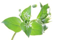 Chickweed (Stellaria media). Flowering plant isolated in front of white background Stock Photography