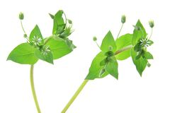 Chickweed (Stellaria media). Flowering plant isolated in front of white background Royalty Free Stock Photography