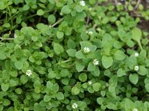 Chickweed , Stellaria media in the garden. The plants are annual and with weak slender stems, they reach a length up to. Chickweed , Stellaria media in the royalty free stock photography
