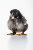 Chicky Stock Images