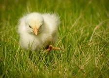 Chickzilla. A yellow chicken gallus gallus domesticus chick walking determinedly through grass. It almost looks like it is stomping. One foot is raised in mid Royalty Free Stock Images