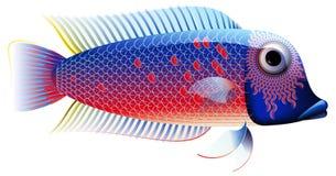 chiclid五颜六色的鱼 免版税库存图片