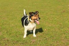 Chico Jack Russel Terrier Lizenzfreie Stockfotos