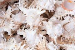 Chicoreus-cnissodus, allgemeiner Name der stinkende Murex, ist Spezies der Seeschnecke, eine Marinegastropodemolluske in der Fami lizenzfreie stockbilder