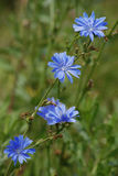 Chicory. Growing in a field. Root of the - coffee substitute Royalty Free Stock Photo