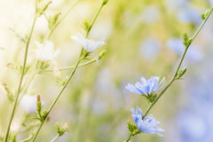 Chicory Stock Images
