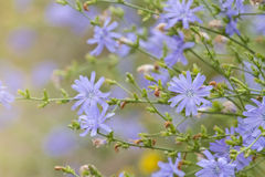 Chicory Royalty Free Stock Photo