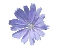 Chicory. Flowers of wild chicory isolated on white background Royalty Free Stock Photos
