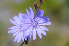 chicory Royaltyfria Bilder