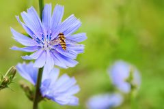Chicory flower in nature Royalty Free Stock Image