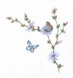 Chicory and butterflies watercolor painting. Chicory and butterflies hand painted watercolor Royalty Free Stock Photos