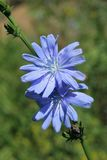 Chicory, cichorium intybus. Close up of common (Cichorium intybus) flowers stock photography