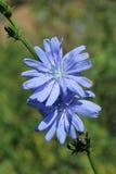 Chicory, cichorium intybus Stock Photography