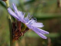 Chicory (Cichorium intybus) Stock Photos