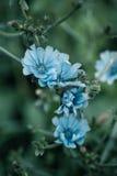 Chicory Royalty Free Stock Photos