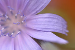 Chicory detail Stock Images