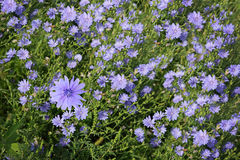 Chicory Field Stock Images