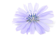Chicory Flower. A closeup shot of a chicory flower isolated on white with copy space Royalty Free Stock Images