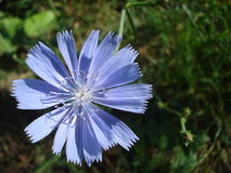 Chicory flower. Wild chicory flower in the grass Stock Photography