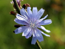 Chicory flower Stock Image