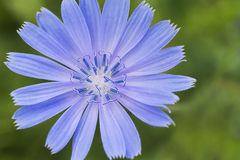 Chicory flower Stock Photography