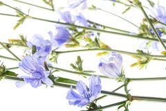Chicory flower Cichorium intybus close up Royalty Free Stock Photo