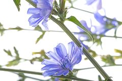 Chicory flower Cichorium intybus close up Royalty Free Stock Photos