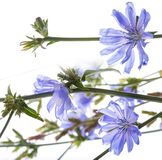 Chicory flower Cichorium intybus close up Royalty Free Stock Photography