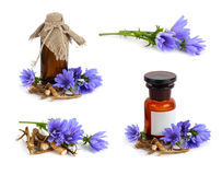 Chicory flower (Cichorium) Royalty Free Stock Photography