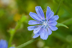 Chicory flower Royalty Free Stock Photos