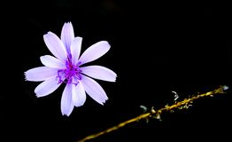 Chicory Flower in the Dark. A lavender wild chicory flower and stem of the plant highlighted by the morning sun and background darkened stock photography