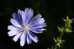 Chicory Flower Stock Photos