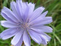 Chicory, Flower, Flora, Plant royalty free stock image