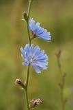 Chicory flower Stock Photo