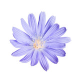Chicory flower head isolated on white Stock Photography