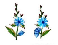 Chicory flower illustration Stock Photos