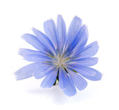 Chicory flower isolated on white background macro.  Stock Image