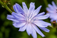 Chicory flower. Blue chicory flower closeup royalty free stock image