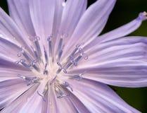 Chicory wildflower Stock Photography