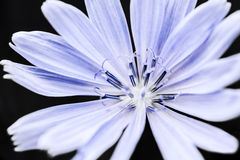 Chicory flower macro Stock Photo