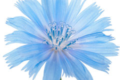 Chicory flower. Macro Royalty Free Stock Photography