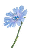 Chicory flower. Macro Royalty Free Stock Photo
