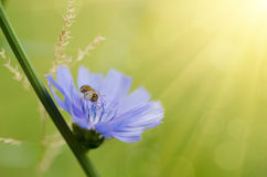 Chicory flower in nature Stock Images