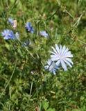 Chicory flower Royalty Free Stock Photo