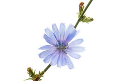 Chicory flower. On a white background Stock Photography